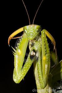 praying-mantis-mantis-religiosa-12052698